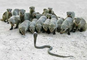banded-mongooses-confront-cobra