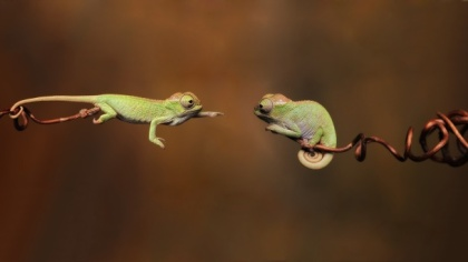 Tiny-Chameleons-Reaching-Out-610x343