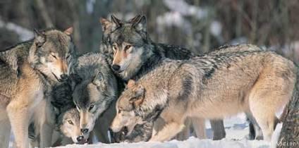 WolfPack_DigitalVision_479x238